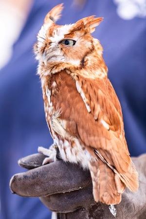 Owl on handlers hand with one eye open.