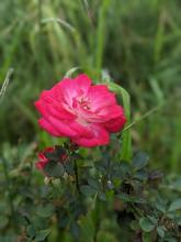 Red Rose in backyard.